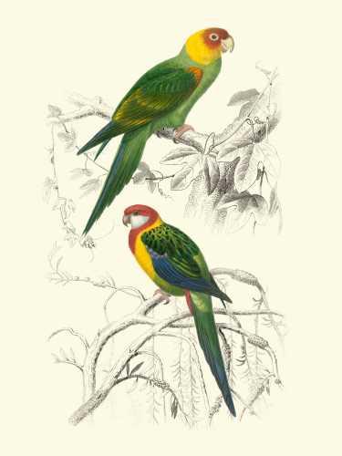 Birds of Costa Rica IV