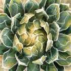 Succulent III
