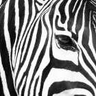 Zebra Up Close