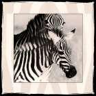 Zebra Enchantment 1