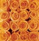 Orange rose creation