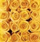 Yellow rose creation