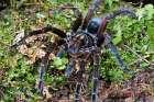 Tarantula male, Mindo, western slope of Andes, Ecuador