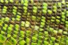 European Green Lizard Scales