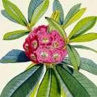 Rhododendron Barbatum Flower